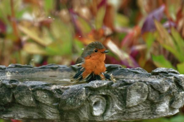Robin having a bath by simmo73