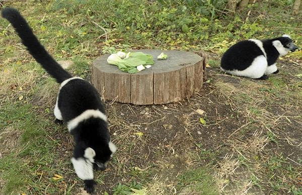 Black-and-white Ruffed Lemur by Janetdinah