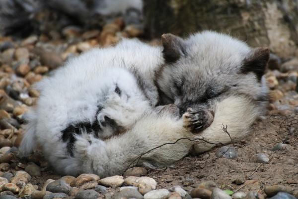 Arctic Fox by Dxwnstxr