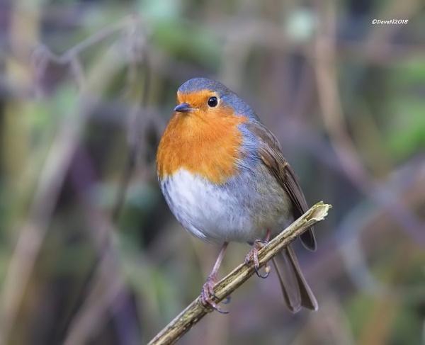 The Winter Robin by DaveNewbury