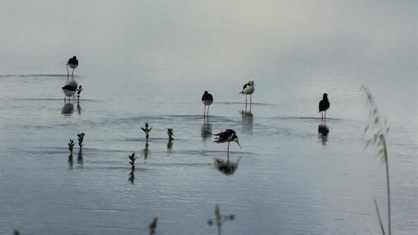 Pied Stilts - Miranda NZ by barryyoungnz