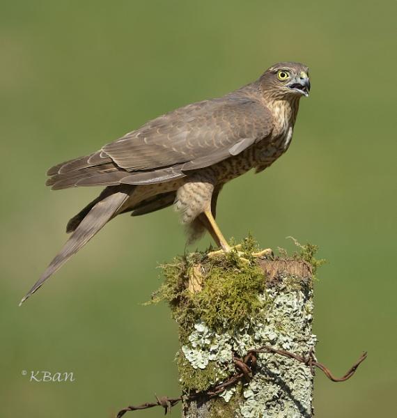 Sparrowhawk ...Female by KBan
