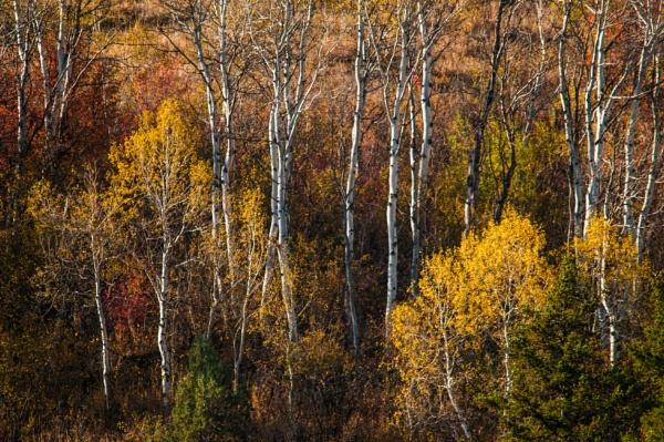 Aspen Trees by dven