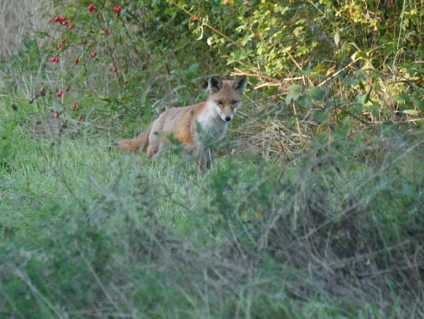 Suprised fox by Supergran11