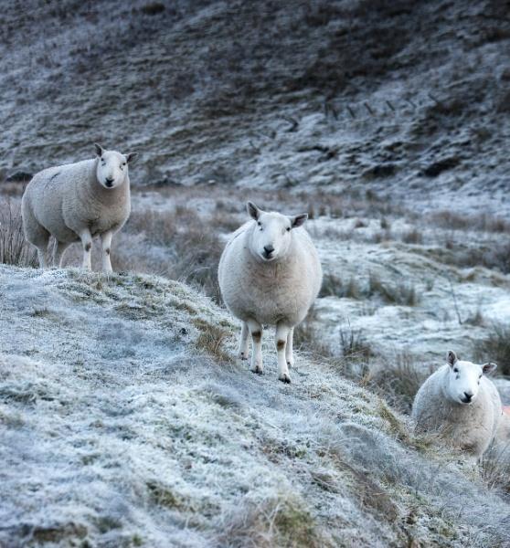 Sheepish by chris-p