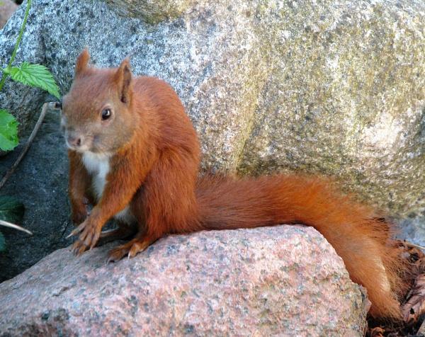 Squirrel by Hildura