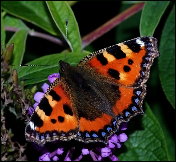 Small Tortoiseshell Basking on a Buddleia... by Badgerfred