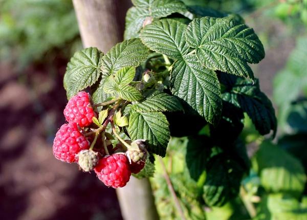 Autumn Raspberries by helenlinda