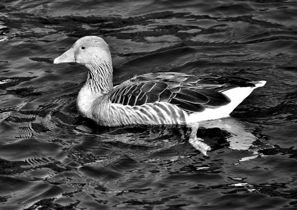 Goosey Gander by Mannyfreedman