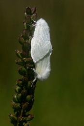 White Satin Moths