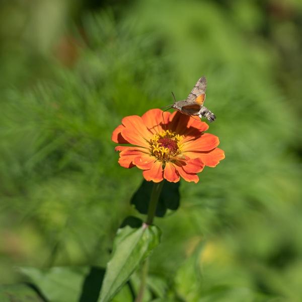 Hummingbird hawk-moth (Macroglossum stellatarum) in Romania by Phil_Bird