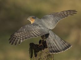 Shadow of death' - Male Sparrow-hawk