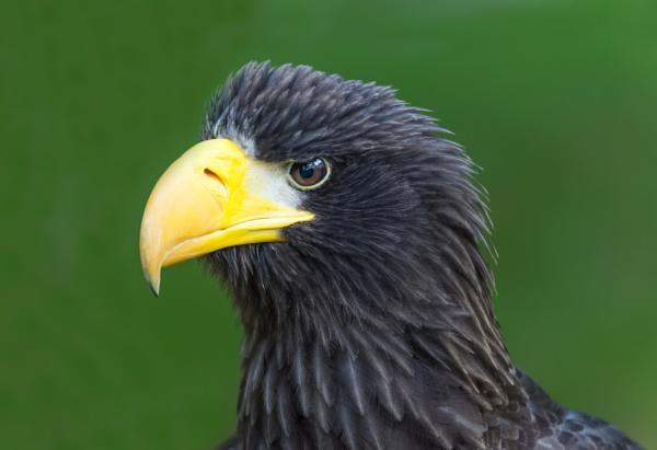 Steller\'s Sea Eagle by jasonrwl