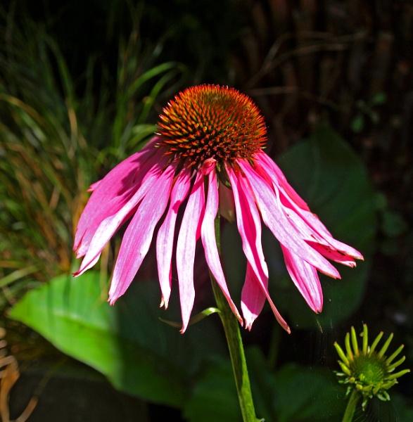 Echinacea by JuBarney