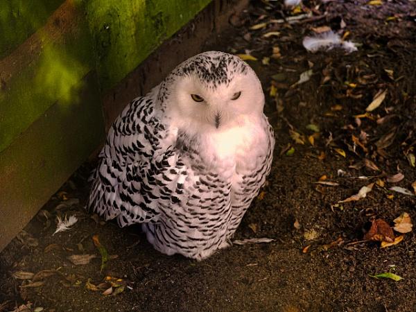 SNOWY OWL. by kojack