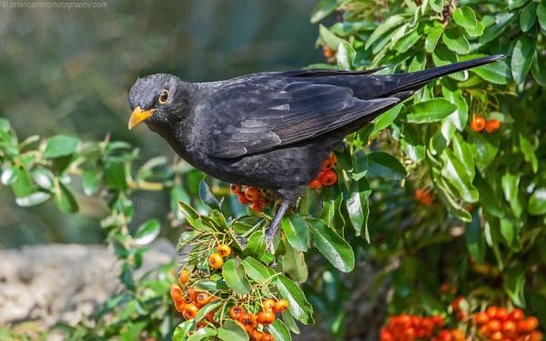 Blackbird by brian17302