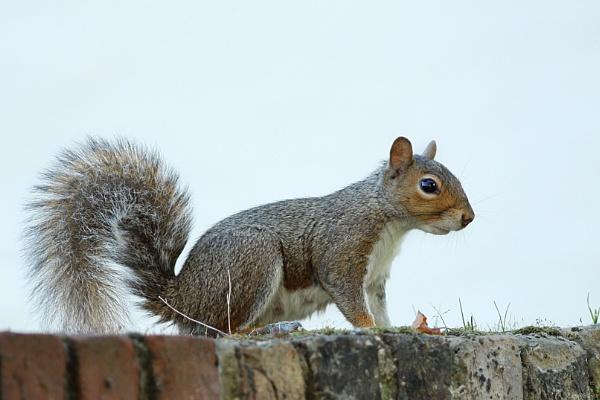 Grey Squirrel--Sciurus carolinensis. by bobpaige1