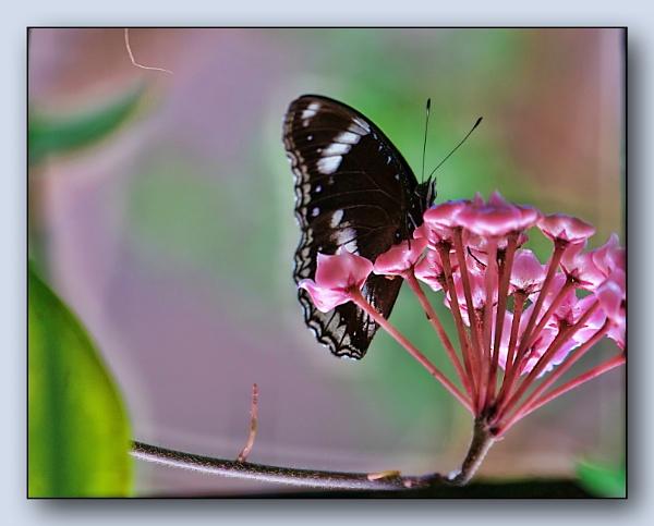 *** White Admiral & Hoya Flowers *** by Spkr51
