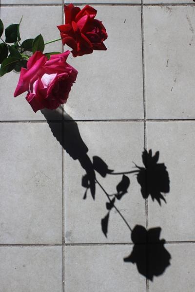 ROSES\' SHADOWS by dimalexa