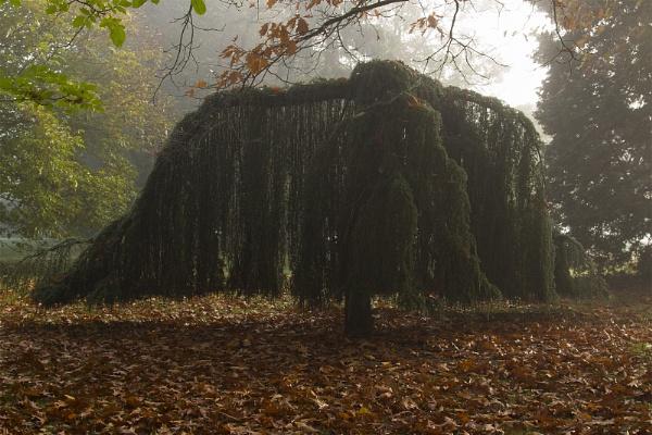 A Tree Curtain on a Foggy Morning