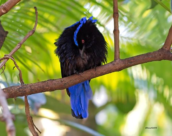Asian Fairy-bluebird (Irena puella)  by DaveNewbury