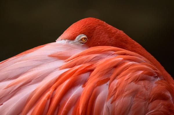 Resting Flamingo by Zydeco_Joe