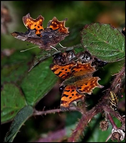 """Comma Butterflies""..."