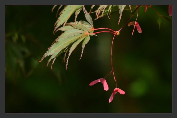 Japanese Maple by prabhusinha