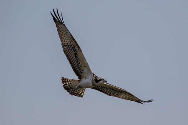 An Osprey on the wing by WorldInFocus