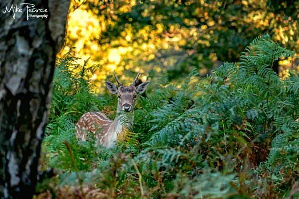 Doe female Fallow deer by mikepearce