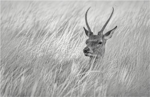 Deer in long grass by mjparmy