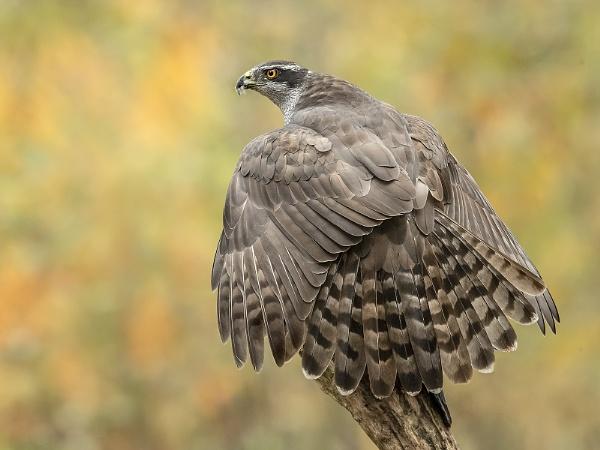 Wild Goshawk in the Autumn Forest - Netherlands by Jamie_MacArthur