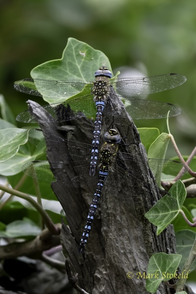 Autumn Migrant Hawker by saltholme