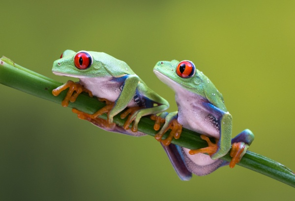 Red Eyed Tree Frogs by jasonrwl