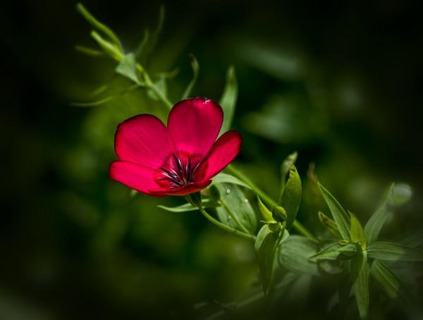 Scarlet Flax by CaroleS