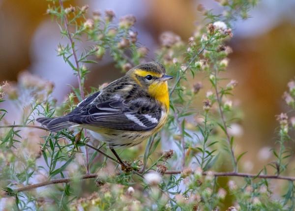 Blackburnian warbler. by JeffGresko
