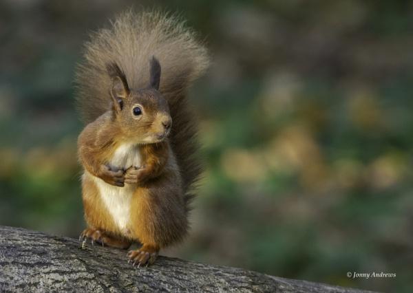 Red Squirrel by JonnyNI
