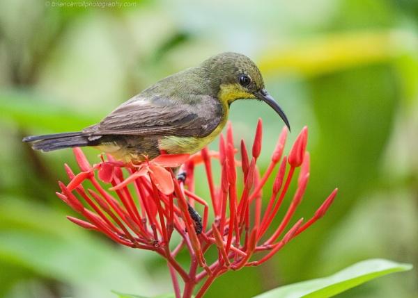 """Olive Backed Sunbird  \""""Nectarinia jugularis\"""", Khao Lak, Thailand by brian17302"""