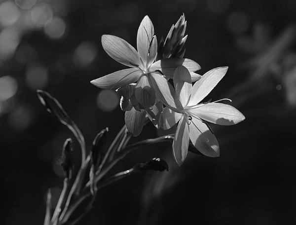 Flowers in B & W by deavilin