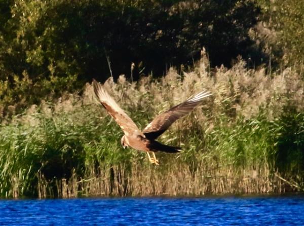Marsh Harrier by Lencollard