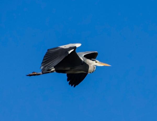 Heron in flight by Madoldie