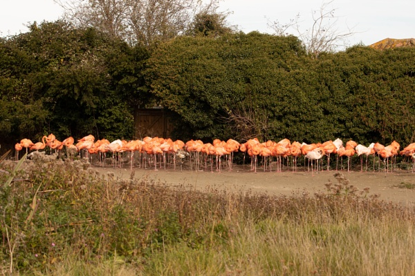 flamingo\'s by peterjay80