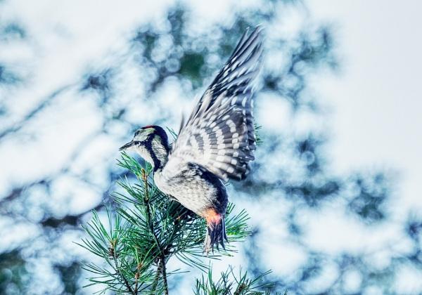 Great spotted woodpecker by hannukon