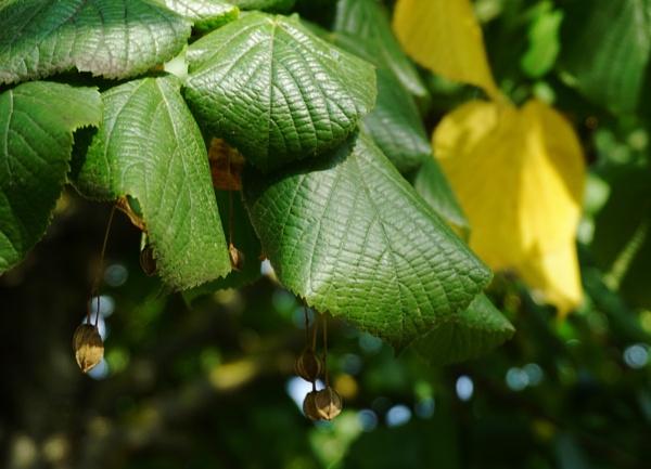 Lime seeds by SauliusR