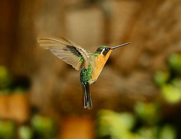 Hummingbird mid flight by Juanita