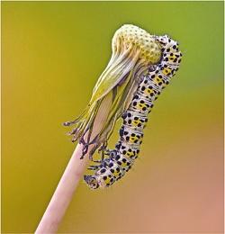 Moth Caterpillar.