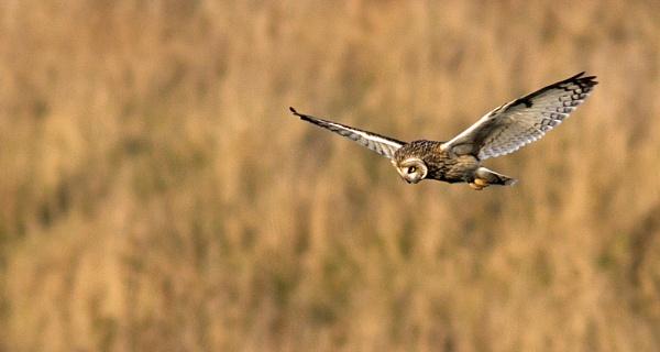 Short eared owl by oldgreyheron