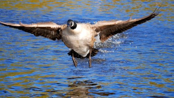 Canada Goose by stevept
