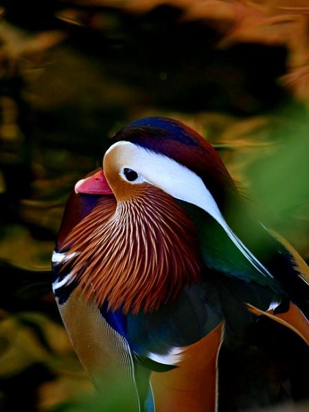 Mandarin Duck by stevept