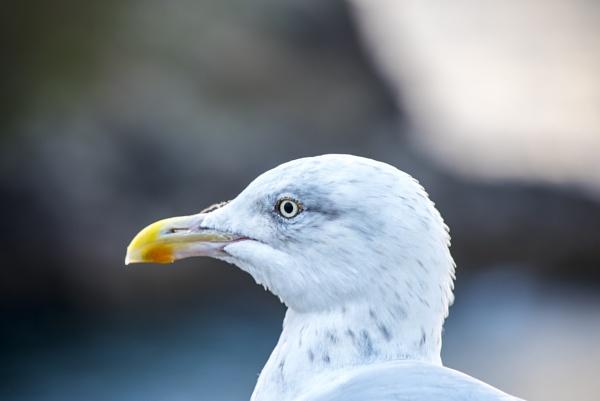 Seagull by Mannyfreedman